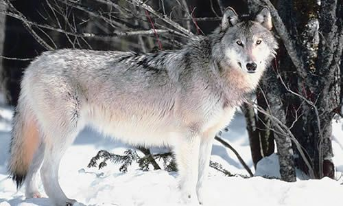A New Study Shows That Carnivores Such As Bears Wolves And Other Large Animals Have Started To Reappear In Europe Grey Wolf Wolf Wolf Photos