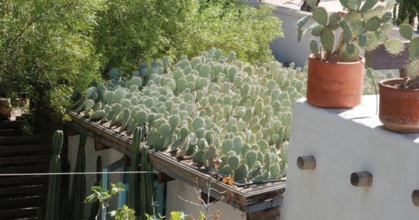 Cactus Grown On Roof Plants Amp Garden Pinterest Cacti