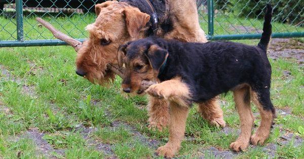 4 Stubenrein Was Ist Das Denn With Images Airedale Terrier