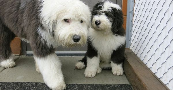 Not So Old English Sheepdogs Old English Sheepdog English Sheepdog Old English