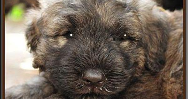 Snoezje Bouvier Des Flandres Puppy Flanders Cattle Dog Bouviers Des Flandres Dog Breeds