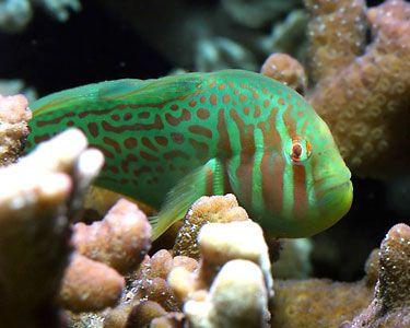 Clown Goby Saltwater Fish Marine Fish Invertebrates Corals Marine Fish Tank Reef Tank Saltwater Shrim Saltwater Fish Tanks Saltwater Aquarium Fish Marine Fish
