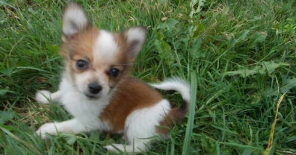 Papillon Pomeranian Pappi Pom Puppies Puppies Kittens And Puppies Cute Dogs