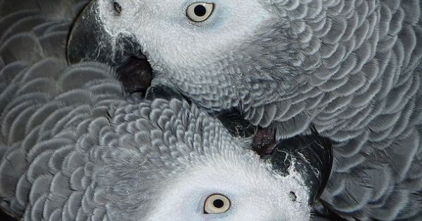 african grey parrots. one day I will own one of these beautiful