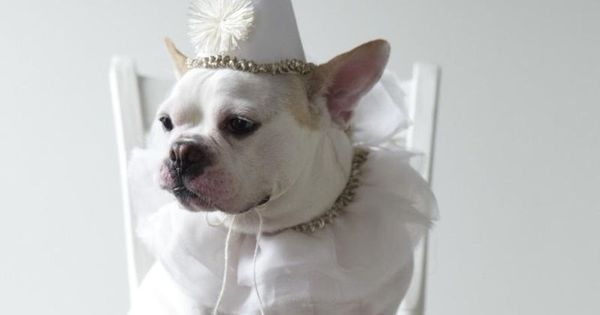 Cute French Bulldog puppy dressed up as a clown in white! ♥