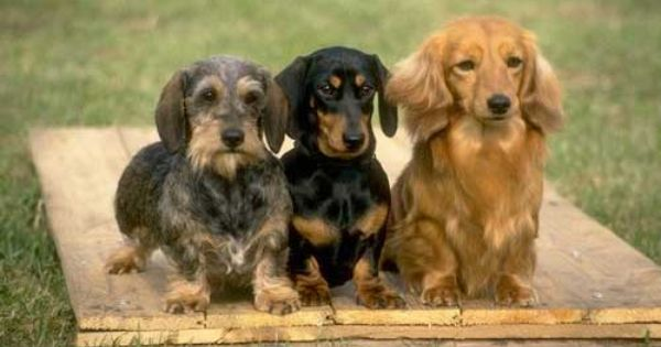 Tehe Different Kinds Of Dacshund Puppies Long Haired Short