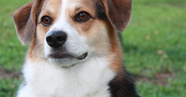 American Eagle Dog American Eskimo Beagle Hybrid Dogs