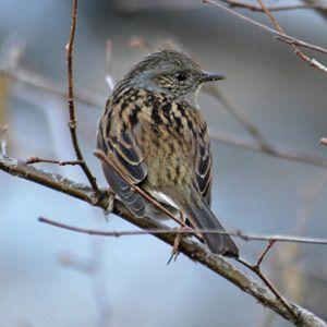 Identifier Les Oiseaux Des Jardins Et Des Villes D Europe En Hiver Ornithomedia Com Oiseaux Des Jardins Oiseaux Identifier Les Oiseaux