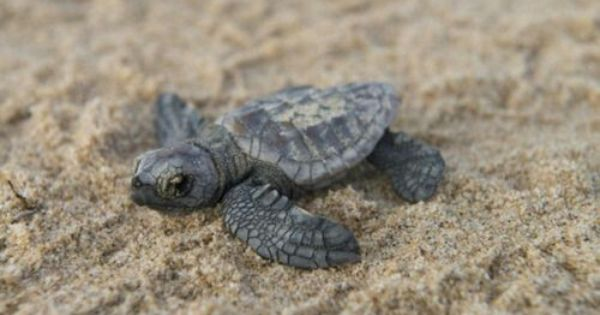 Baby Sea Turtle Turtle Love Turtle Fluffy Animals