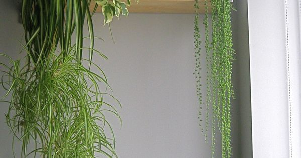 String of Pearls  String of Pearls  Pinterest  식물, 허브 정원 및 실내 정원
