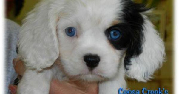 Coosa Creek Cavalier King Charles Spaniels Cavalier Puppies Cavalier King Charles Dog Cavalier Puppy Cavalier King Charles