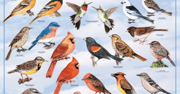 Backyard Birds of North America Poster: North American ...