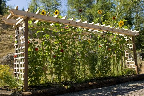Hmm Im Going To Attempt To Plant Gigantic Sunflowers To Act As A Privacy Fence Around My Yard This Could Be A Garden Trellis Vegetable Trellis Flower Trellis