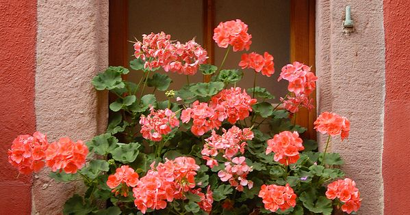 Coral flowers and window box alsace france ventanas y for Container alsace