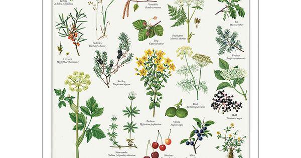 Plakat A2 Kryddersnaps Pflanzen Essbare Pflanzen Plakat
