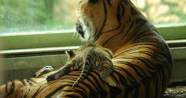 Baby tiger!