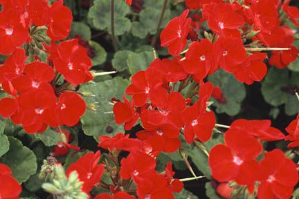 Pelargonium zonal geranium culture including overwintering tips royal horticultural society - Overwintering geraniums tips ...