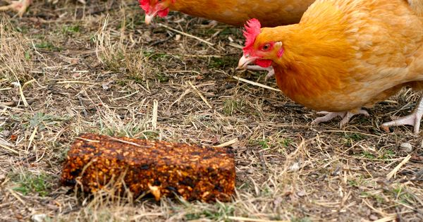 how to keep your chickens from getting bored