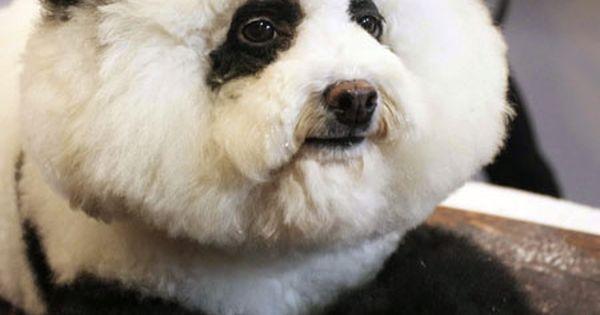 Bichon panda pup