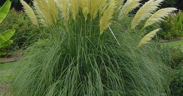 Jet streams dwarf pampas grass cortaderia selloana pumila for Landscaping ideas with pampas grass