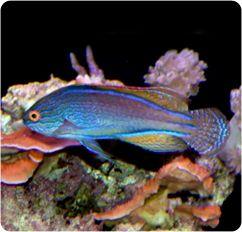 Lineatus Fairy Wrasse Purplelined Fairy Wrasse Cirrhilabrus Linneatus Wrasse Fish Pet Cool Fish