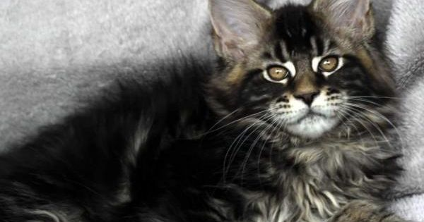 Maine Coon Kittens For Sale Kittens animals