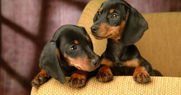 Dachund Puppy Miniature Dachshund Puppies Wallpapers