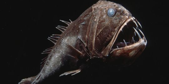Weird Fish In Mariana Trench 9