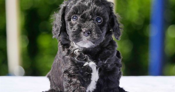 Download Wallpapers Maltipoo Dog 4k Small Black Puppy Cute