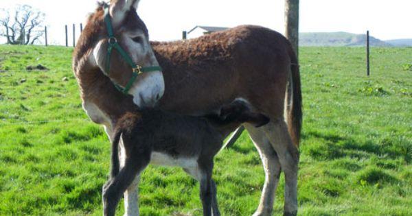 mammoth donkey foal | Horses | Pinterest | Donkeys
