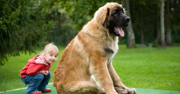 Leonberger A Lgd Livestock Guardian Dog A Cross Between A St Bernard Newfoundland And Great Pyrenees This Is Leonberger Dog Large Dog Breeds Big Dogs