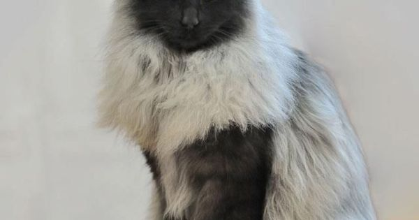Norwegian Forest Cat... need to add this one to my kitty family