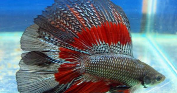 Copper butterfly red base double tail betta i want for Butterfly betta fish