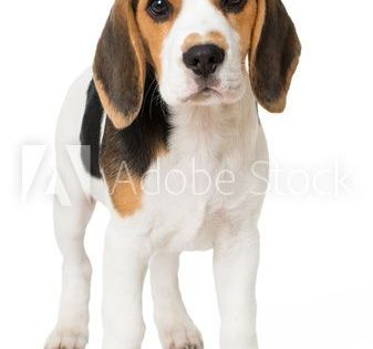 The Beagle Friendly Loyal And Loving The Beagle Dog Breeds