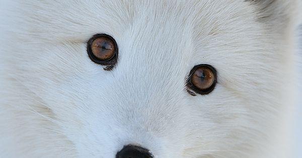 Arctic Fox. Snow white.