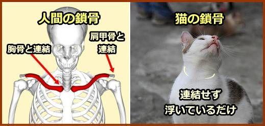 人間と猫の鎖骨の違い 人の鎖骨は連結されているが 猫の鎖骨は宙ぶらりん 子猫 猫 胴体
