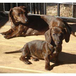 Mini Dachshund Dachshund Puppies For Sale