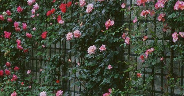 Comment planter un rosier au pied d 39 un m r articles - Comment fixer un rosier grimpant au mur ...