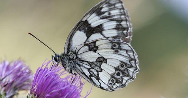 Okac Bojinkovy Hledat Googlem Schmetterling