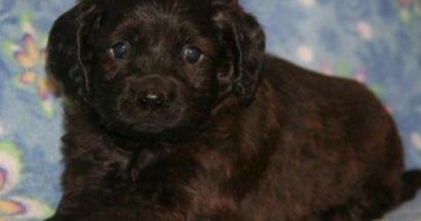 Gibson Is A Dark Sable Male Cockapoo Available For Adoption