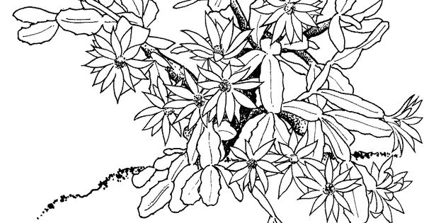 Schlumbergera or christmas cactus super coloring draw for Christmas cactus coloring page