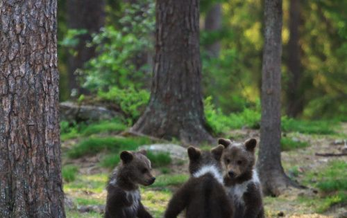 You put your right foot in. . . - Imgur. Dancing Bears.