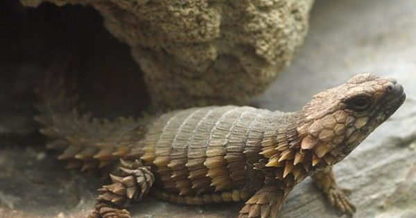 10 Coolest Spiny Animals In The World Armadillo Lizard Lizard Pet Lizards