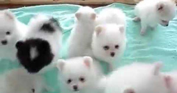 Youtube Video American Eskimo Puppies Cute Puppy Videos Cute