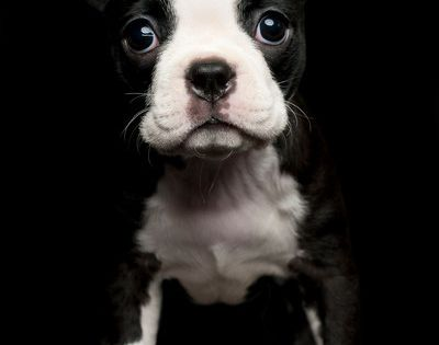 Photograph of a young Boston Terrier puppy | Boston Terrier Puppy Black