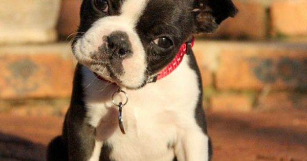 French Bulldogs, among the Top 5 Longest Living Dog Breeds.
