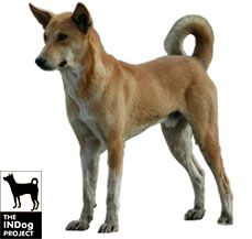 Indian Pariah Dog Rare Dog Breeds Dogs Dog Breeds