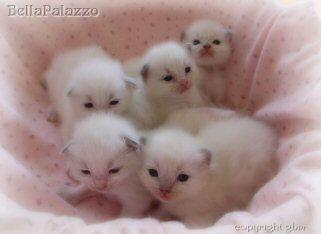 Google Image Result For Http Bellapalazzo Ragdollcats Com K Ragdoll Kittens5 Jpg Cute Cats And Dogs Kittens Kittens Cutest