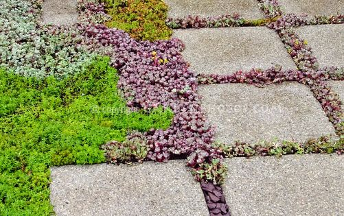 Gartenweg; Sedum succulent plants between stone stepping stones in garden path, with