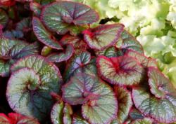 Curly Leaved Begonia National Gardening Association Curly Fireflush Rex Begonia Has Deep Green Leaves With Shade Flowers Fragrant Flowers Part Shade Flowers